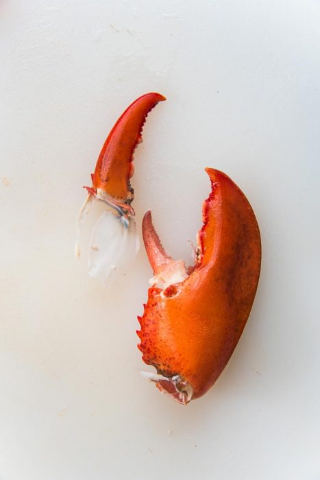 A lobster claw on a white cutting board, with the smaller claw taken off, with the cartilage attached.