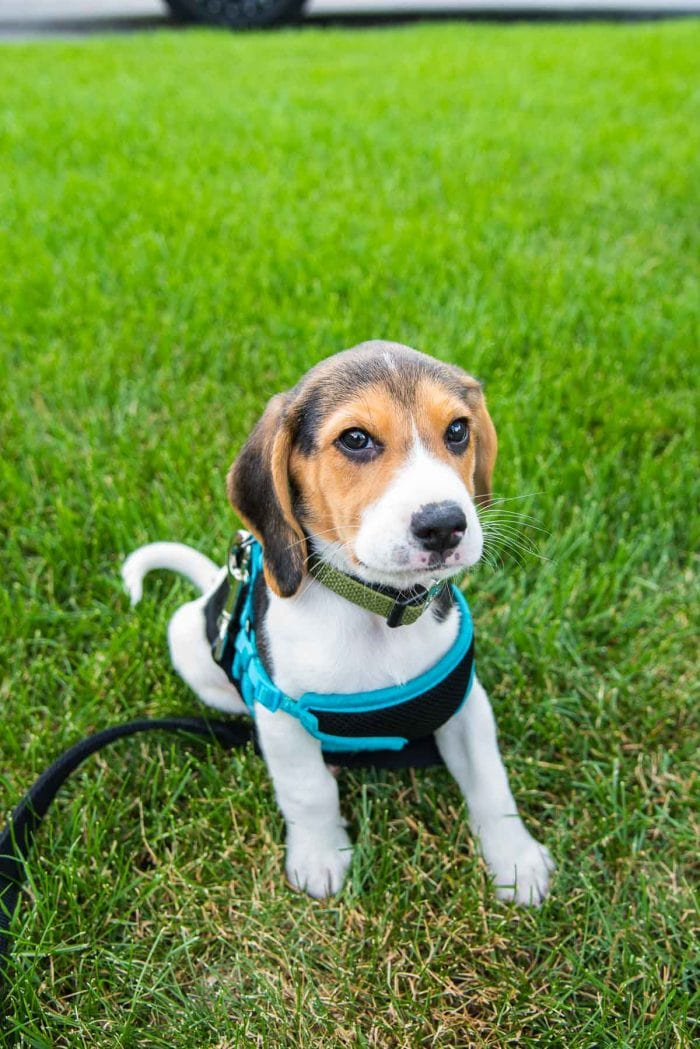 Zuko the Beagle Puppy on green grass