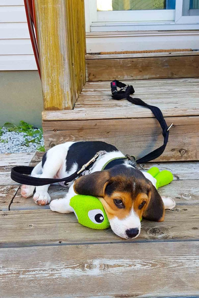 Zuko the Beagle Puppy on a wooden deck